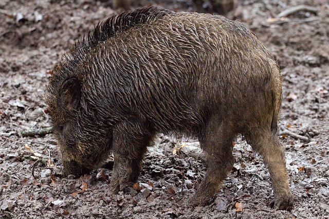 Free photo: Wild Boars, Animals, Wild, Forest - Free Image on Pixabay - 657916 (24420)